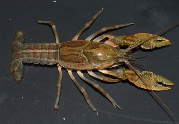 Crayfish (640x445)