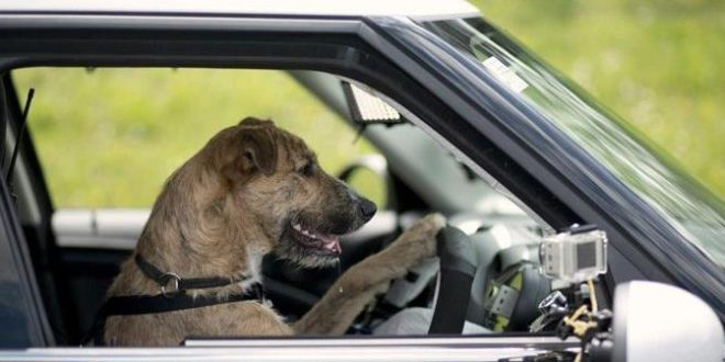 """BREAKING : Man who defies """"stay at home"""" order to teach dog how to drive lands in police net"""