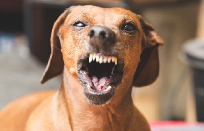 MAD O!! Dog Suddenly Attacks His Owner – What Do You Think Went Wrong? (Watch Video)