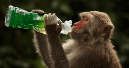 JUST IN!! Monkeys Beat Up Lab Assistant Mercilessly, Take Away Covid-19 Samples