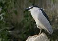 A crepuscular black crowned night heron.