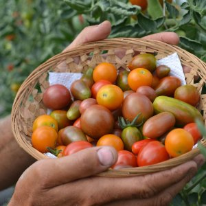 We Grow Cherry Tomatoes