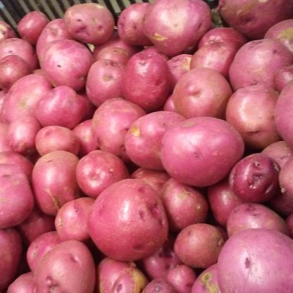 We Grow Red Potatoes