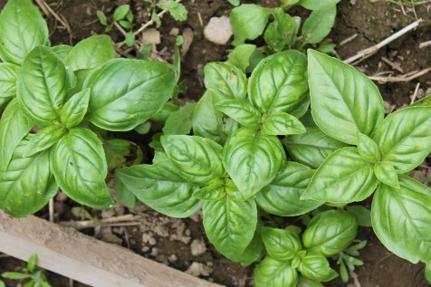 We Grow Sweet Basil