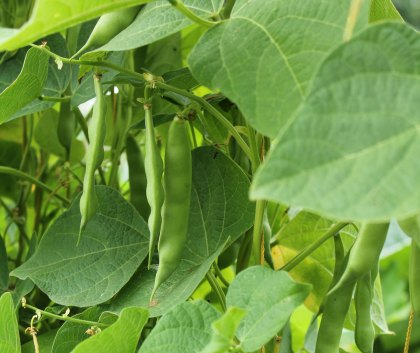 We Grow Shiatsu Shield Beans