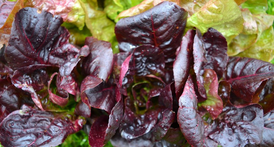 """Marvel of Four Seasons"" lettuce and ""Rhazes"" romaine lettuce distributed to members in 2015."
