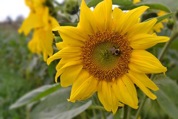 Sunflower at We Grow LLC