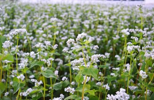 Buckwheat cover crop at We Grow LLC
