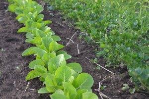 Romaine lettuce planted alongside celery at We Grow LLC