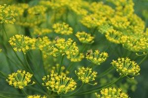 Dill - herbs at We Grow