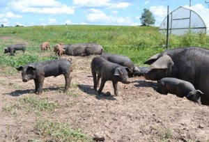 Pasture-Raised Heritage Hogs at We Grow