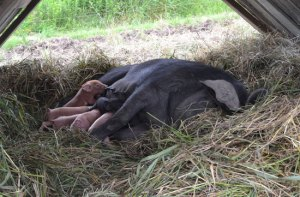Pasture hogs at We Grow LLC
