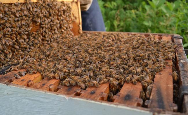 Inspecting honeybee hives at We Grow LLC