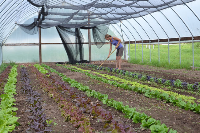 Lettuce growing in a shaded high tunnel in early August at We Grow LLC
