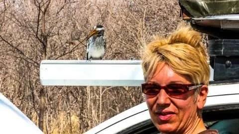Gelbschnabel Toko (Yellow-billed Hornbill)