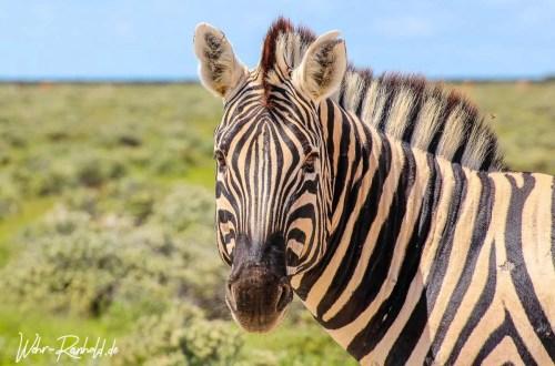 Zebra im Etosha