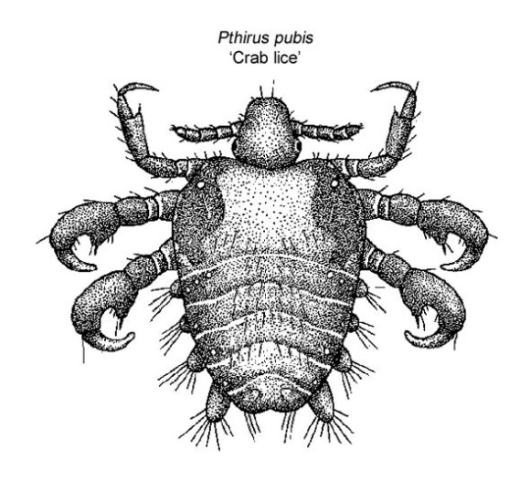 Pubic louse. One of many creatures that Xsplat is worse than.