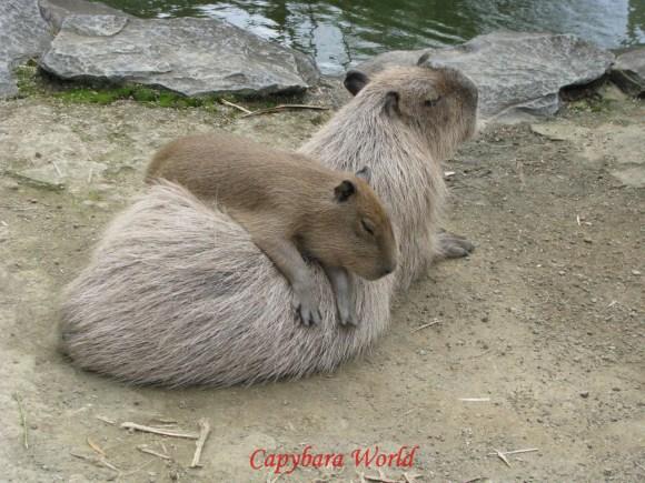 Sleepy Capybara says: Donate!