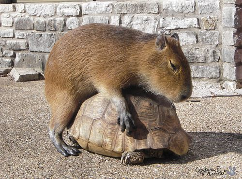 Slow and steady wins a capybara lying on top of it