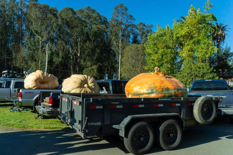 2020 pumpkin weigh-off contenders