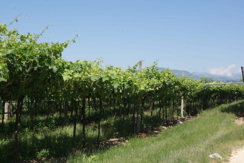 Weinreben von San Benedetto