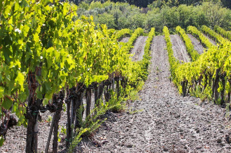 Weinfelder von Terre Nere