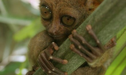 Tarsier – The Real Gremlin