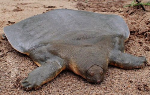 Pelochelys cantorii – Cantor's giant soft-shelled turtle