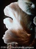 Pleurocybella Porrigens
