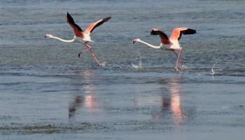 Porto-Pino-flamingos