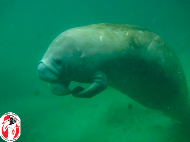 A Manatee in the Crystal River