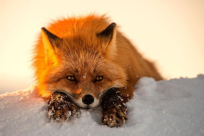 foxes16