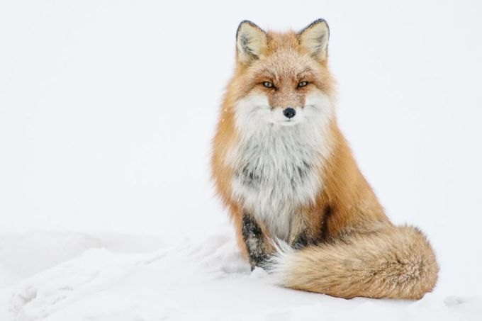 foxes23