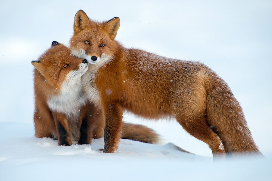 foxes5