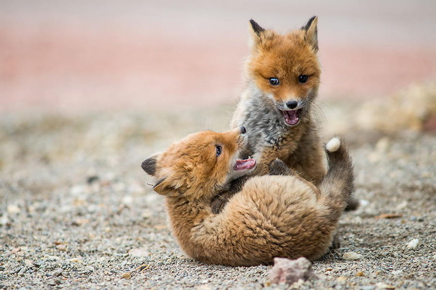 foxes9