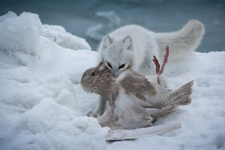 """Harsh laws of the Arctic"" by Konstantin Lemeshev"
