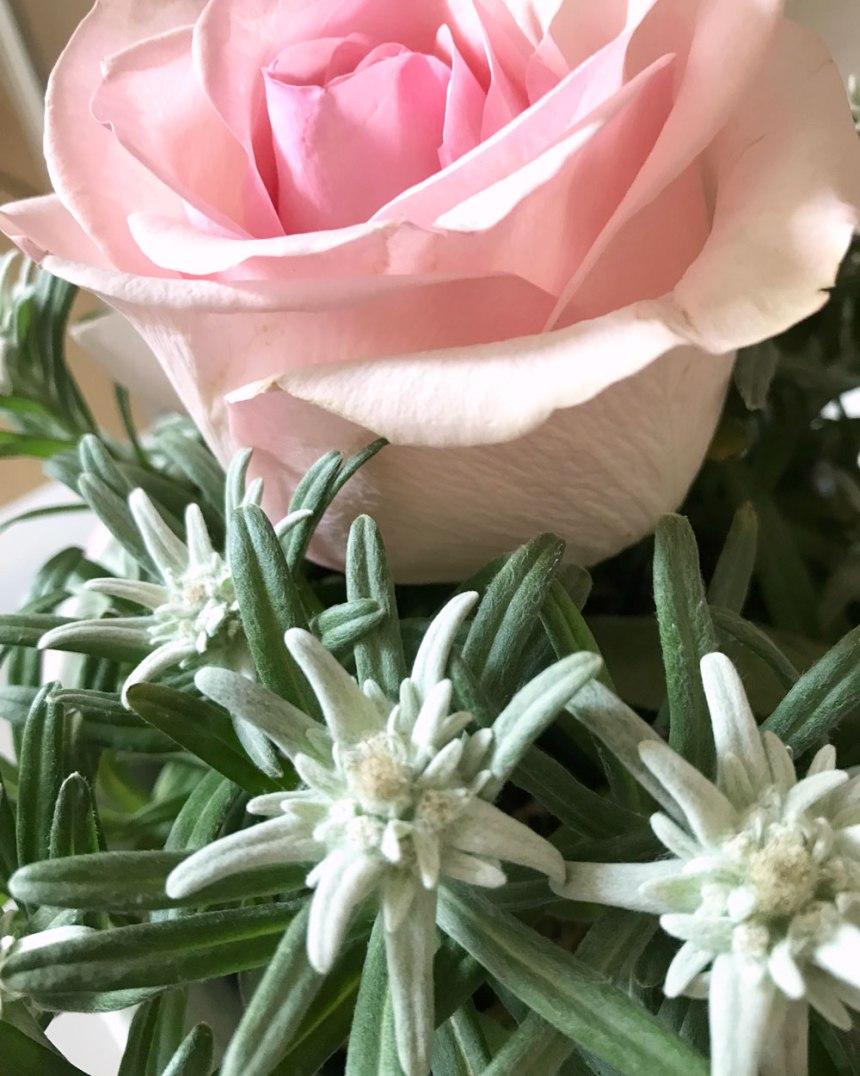 edelweiss8.jpg