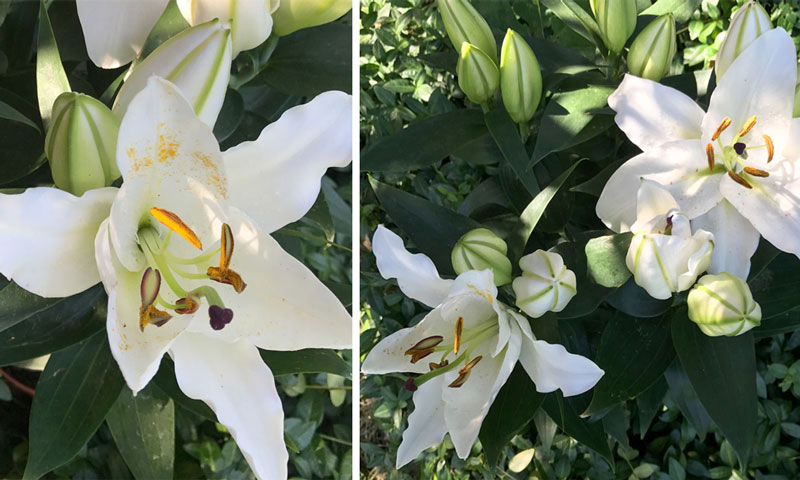 lilien-coll