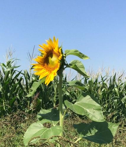 sonnenblume-natur