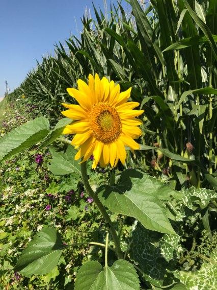 sonnenblume-natur5