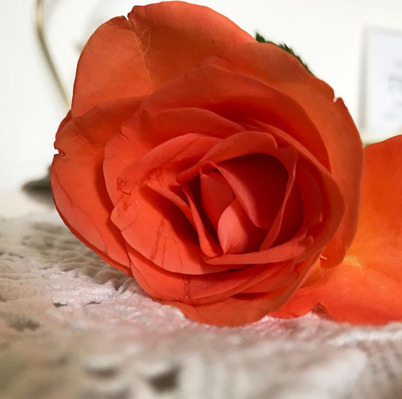 rose2.jpg