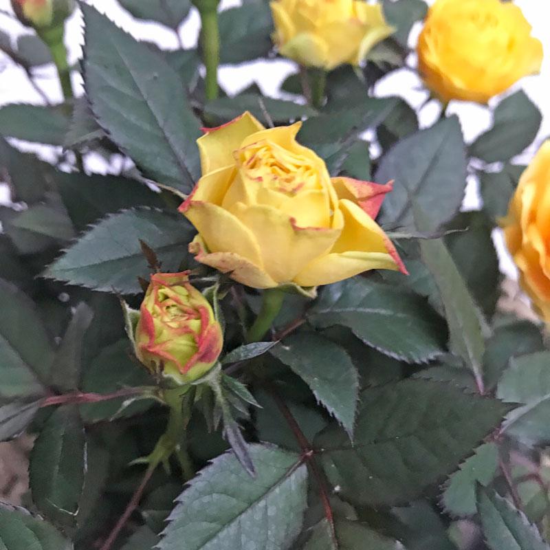 gelb-rose20.jpg