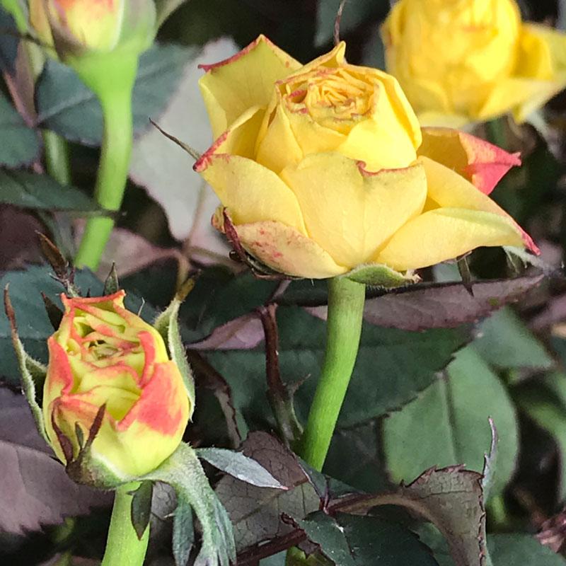 gelbe-rose14.jpg