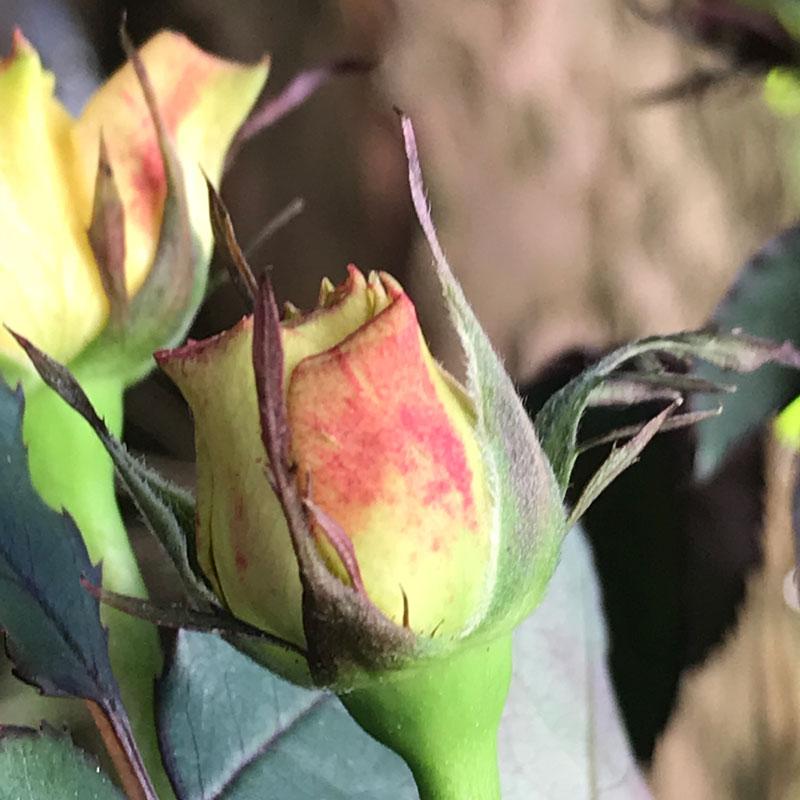 gelbe-rose5.jpg