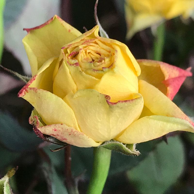gelbe-rose6.jpg