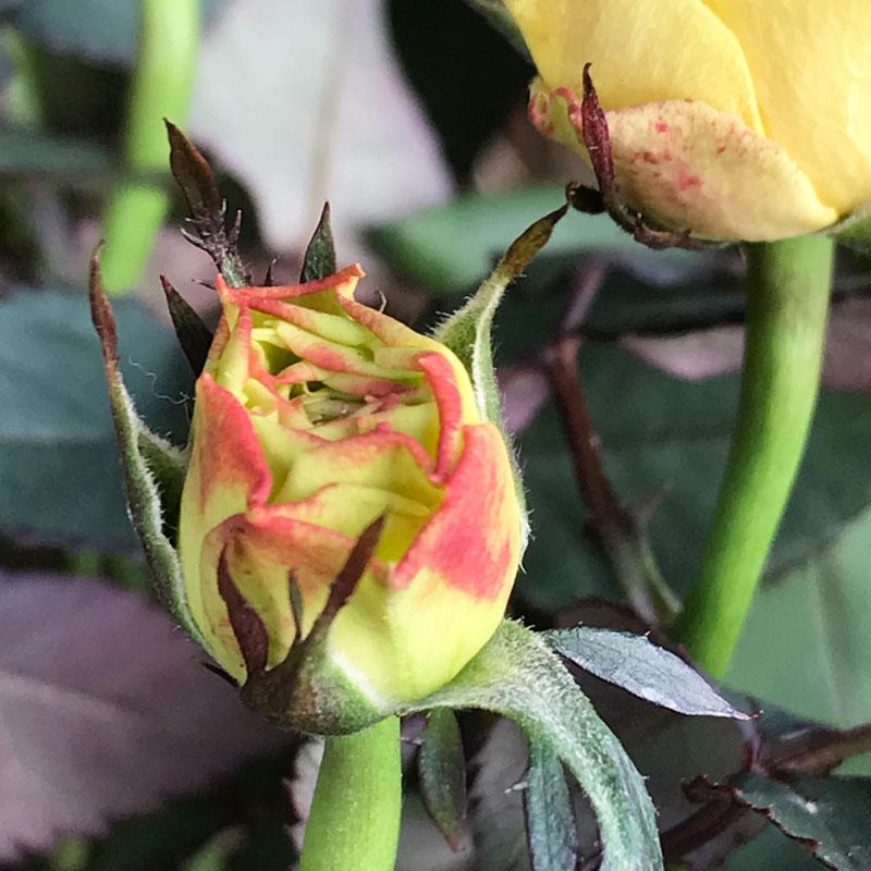 gelbe-rose9.jpg