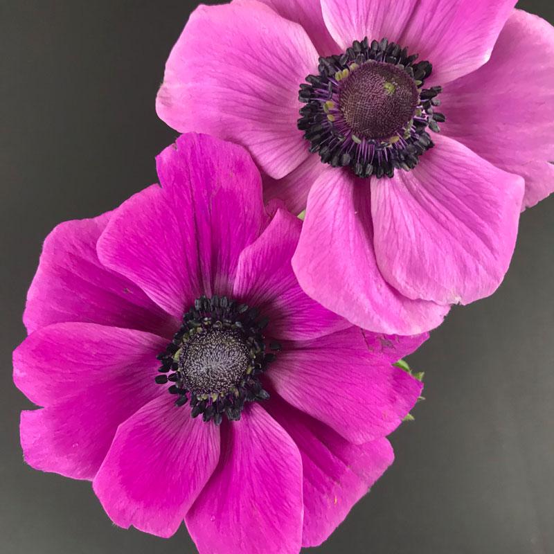 anemone128.jpg