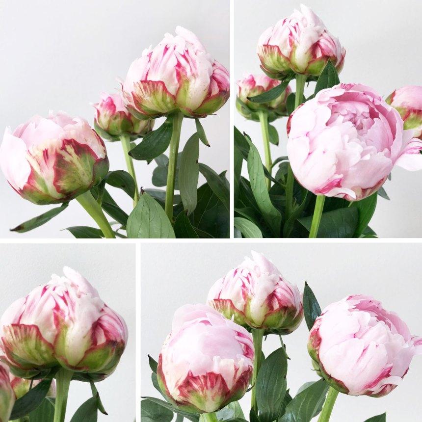 Die Rose Ohne Dornen Weiss Schwarz