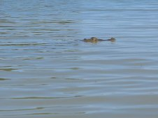 unter wasser verstecken sich bestimmt 40cm Krokodil