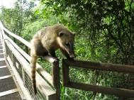 Coatis sind im ganzen Park auf der Suche nach freiwilligen Spenden ... und offenen Rucksäcken.